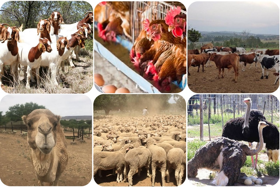 livestock for sale Nkosi Agro farms Pty Ltd