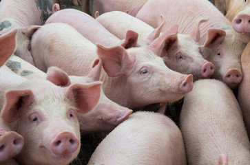 pigs for sale Nkosi Agro farms Pty Ltd