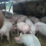 Nkosi Agro farms Pty Ltd Pigs for sale