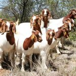 Nkosi Agro farms Pty Ltd Boer Goats for sale
