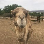 Nkosi Agro farms Pty Ltd camel for sale