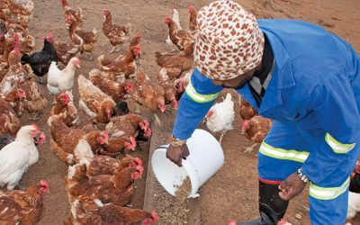 Nkosi Agro farms Pty Ltd live chicken for sale